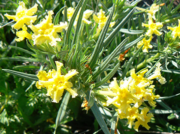 Puccoon-CR-P1270940-sm